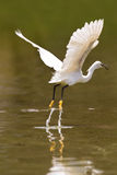 Little white egret take off Royalty Free Stock Images