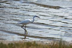 Little white egretta garzetta is fishing in the sea stock images