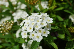 Little white elderflowers Stock Image