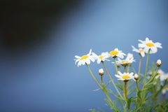 Little white flower. In close up royalty free stock photography