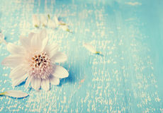 Little white flower on the blue colored wooden background Stock Photography