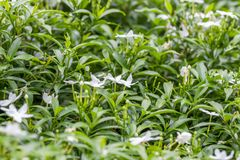 Little white flower bush. Close up of Little white flower bush Royalty Free Stock Images