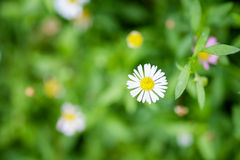 Little white flower - daisy on green background. Close-up white daisy from top view with background of field Royalty Free Stock Image