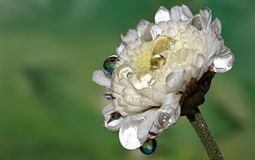 Little White Flower In The Drops Of Dew. macro. Stock Photography