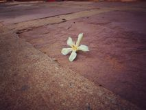 A Little White Flower Falling. This picture is taking at the pathway. Somewhere in Thailand royalty free stock photo