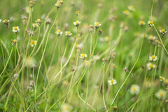 Little white flower with yellow pollen ,little iron weed Stock Photo
