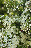 Little white flowers Royalty Free Stock Photography