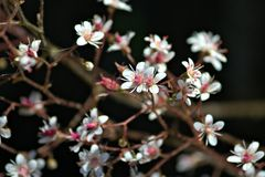 The little white flowers on dark background. The preaty little white flowers on dark background Royalty Free Stock Images