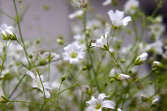 Little white flowers Royalty Free Stock Images