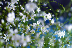 Little white flowers Stock Photography