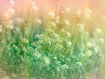 Little white flowers in meadow Stock Images
