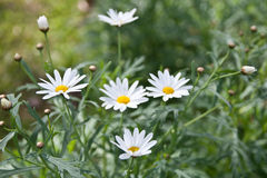 Little white flowers in nature Stock Image