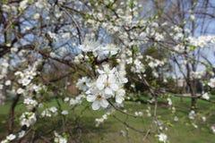 Little white flowers of Prunus cerasifera. In spring stock photo