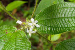 Little white flowers in rainforest Stock Photography