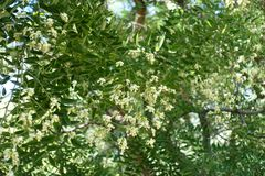 Little white flowers of Sophora japonica. Tree royalty free stock images