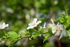 Little white flowers on tree`s branch stock image