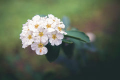 Little white flowers. Little wild flowers, white blossom and green view Royalty Free Stock Photos
