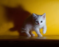 Little white fluffy kitten sneaks up on yellow. Background Royalty Free Stock Photo