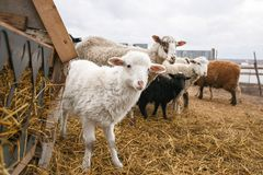 Little white fluffy lamb sheep among adults. An enclosure for cloven-hoofed animals. The fishery of mutton in rural. Little white fluffy lamb sheep among adults Royalty Free Stock Images