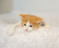 Little white-and-ginger kitten peeping from behind fluffy white chairs. Climbs. Light background Stock Photo