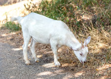 Little white goat eating wet grass. Little white goat eating raw grass in the field stock photo