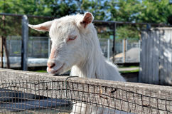 Little white goat on a farm in a stall Stock Images