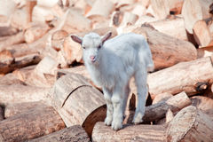 Little white goat Royalty Free Stock Image