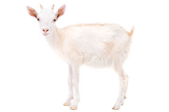 Little white goat Stock Photography