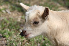 Little white goat. Royalty Free Stock Images