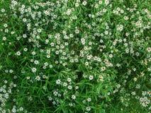 Little white grass flower Stock Photography