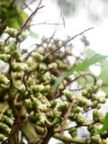 Little white greenpalm flowers of decorative plant Royalty Free Stock Photos