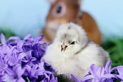 Easter Chick with Bunnie. Little white and grey Easter chick sitting in the middle of purple hyacinth flowers with a brown bunny rabbit in background. Extreme Stock Images