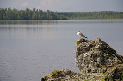 Little white gull on a lake. The picture of Karelian forest and flowing river stock images