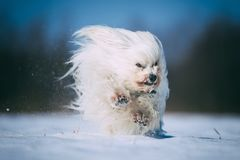 Little white dog is having fun in the snow Royalty Free Stock Photos