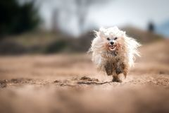 Dirty dog runnig fast Royalty Free Stock Images
