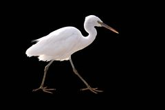 Little White heron on a black. Little White heron stayng isolate on a black stock photography