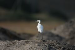 A little white heron stands alone on a hill. In a blurred background Royalty Free Stock Photo