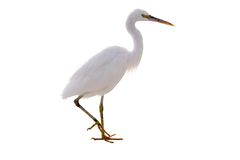 Free Little White Heron Stayng Isolate Stock Images - 12037494
