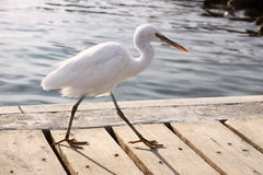 Little white heron walking. Cross a quay stock images