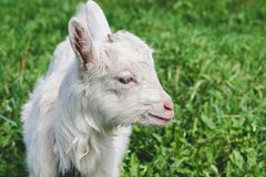 Little white horned goat on a green meadow on a summer day stock photography