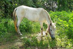 White Horse Eating Grass. A little white horse is eating grass under the green tree in shiny day Royalty Free Stock Photography