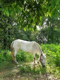 White Horse Eating Grass. A little white horse is eating grass under the green tree in shiny day Stock Photo