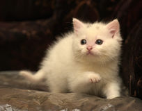 Little white kitten Royalty Free Stock Photo