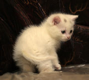 Little white kitten Royalty Free Stock Photography