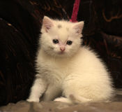 Little white kitten Stock Images