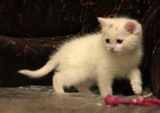 Little white kitten Stock Image