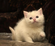 Little white kitten Royalty Free Stock Images
