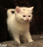 Little white kitten Royalty Free Stock Photography