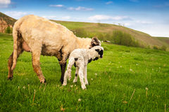 Little white lamb with adult sheep on grass Stock Photo