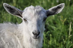 A little white lamb. Bright on the background of grass Royalty Free Stock Photos